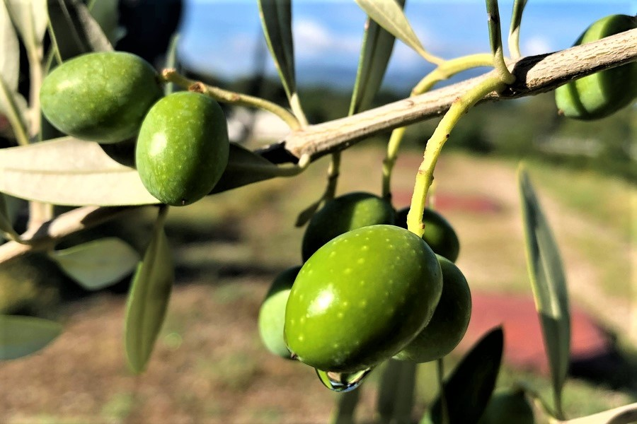 Year 2020: will it be an olive oil campaign to remember?
